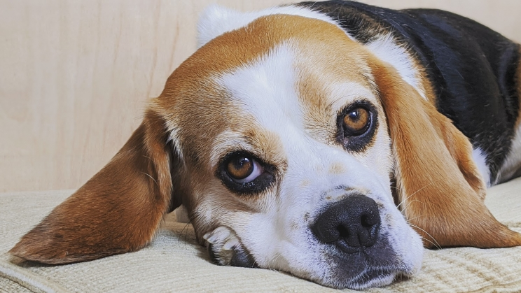 Good Doggy Guide - Poppy the beagle