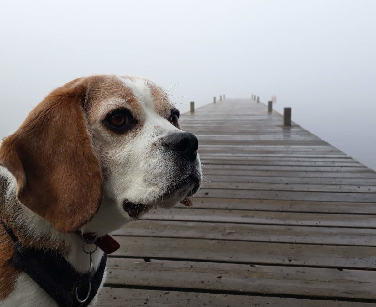 Poppy the beagle in the Lakes