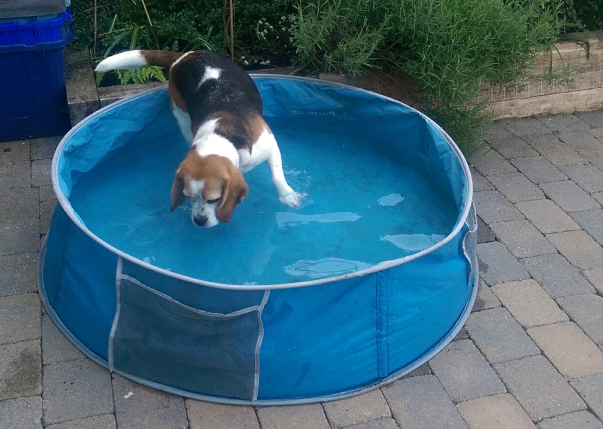 Poppy takes a dip - photo by Good Doggy Guide